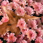 Pink Chrysanthemums With Pin Oak Leaf Poster