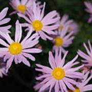 Pink Clara Curtis Daisy Chrysanthemum Poster