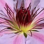 Pink Clematis Closeup Poster