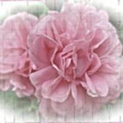 Pink Climbing Roses Poster