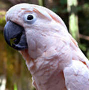 Pink Cockatoo Poster