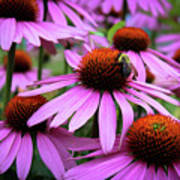 Pink Coneflowers Poster