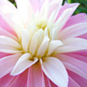 Pink Dahlias Art Dahlia Flowers Giclee Prints Baslee Troutman Poster