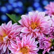 Pink Dahlias On Lobelia Poster