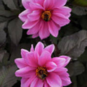 Pink Dahlias With Bees Poster