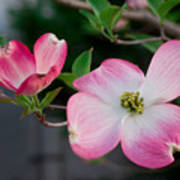 Pink Dogwood In The Morning Light Poster