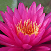 Pink Flame Waterlily Poster