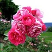 Pink Floribunda Roses Poster