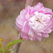 Dwarf Flowering Almond Romantic Floral Poster