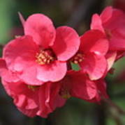 Pink Flowering Quince Poster