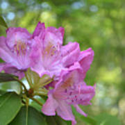 Pink Flowering Rhododendron Bush In Full Bloom Poster