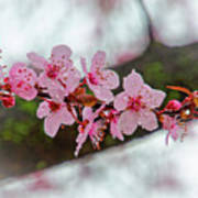 Pink Flowering Tree - Crabapple With Drops Poster