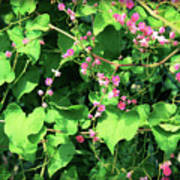Pink Flowering Vine2 Poster