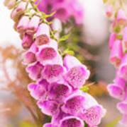 Pink Foxglove Poster