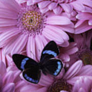 Pink Gerbera Daises And Butterfly Poster
