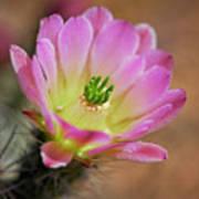 Pink Hedgehog Cactus Poster
