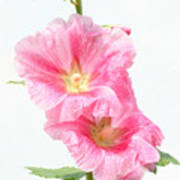 Pink Hollyhock Poster