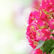 Pink Hortensia Flowers In Graden Poster