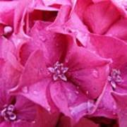 Pink Hydrangea After Rain Poster