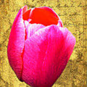 Pink Impression Tulip Poster