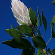Pink King Protea Kula Maui Hawaii Poster