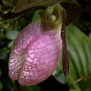 Pink Lady Slipper Poster