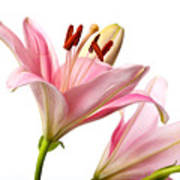 Pink Lilies 03 Poster