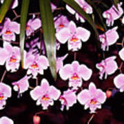 Pink Little Orchids Poster