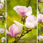Pink Magnolia Triptych Poster