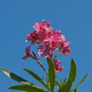 Pink Oleander Flower In Spring Poster