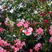 Pink Oleanders Poster