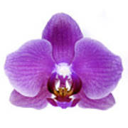Pink Orchid On White Poster