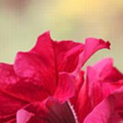 Pink Passion Petunia Poster