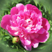 Pink Peony On Green Poster