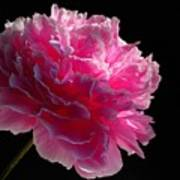 Pink Peony On A Black Background Poster