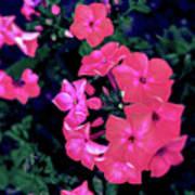 Pink Phlox Poster
