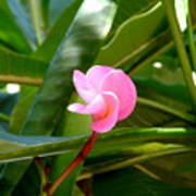 Pink Plumeria In Bloom Poster