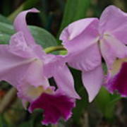 Pink Purple Orchids Poster