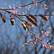 Pink Redbud Tree Blossoms- Fine Art Poster