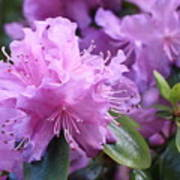 Light Purple Rhododendron With Leaves Poster