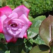 Pink Rose 1 Poster