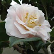 Pink Rose 2 Poster