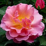 Pink Rose 3 Poster