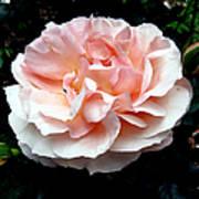 Pink Rose 4 Poster