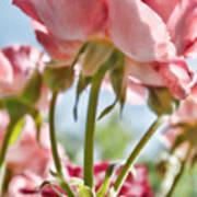 Pink Rose Back Light Poster