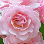 Pink Rose Cluster IIi Poster