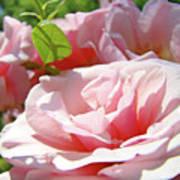 Pink Rose Flower Garden Art Prints Pastel Pink Roses Baslee Troutman Poster