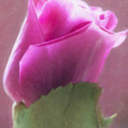 Pink Rose In Light Poster