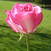 Pink Rose In The Sunlight Poster