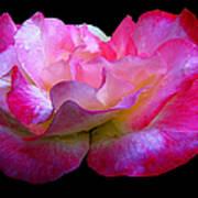 Pink Rose On Black 4 Poster